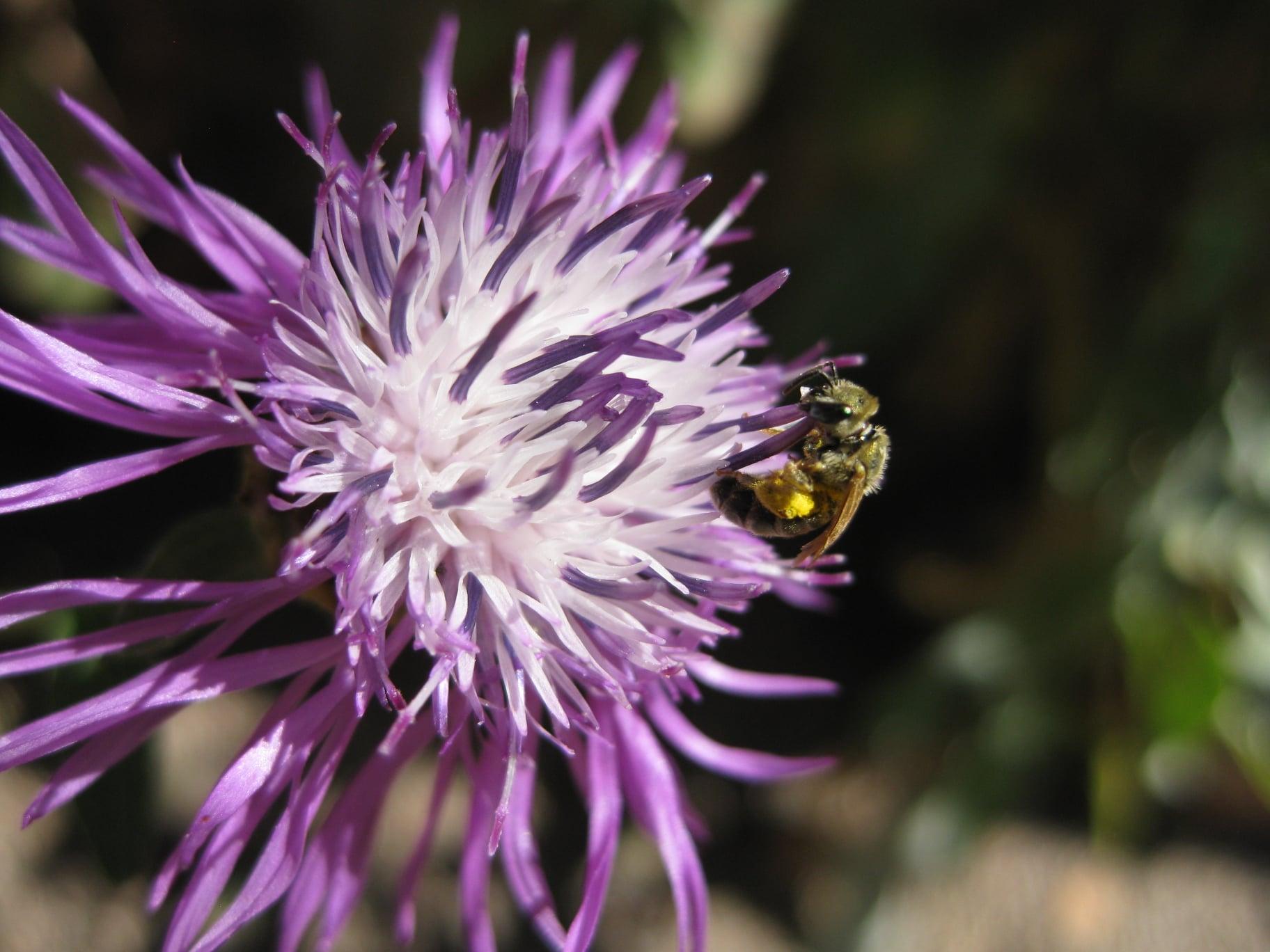 Wildbiene an einer Blüte (Flockenblume)