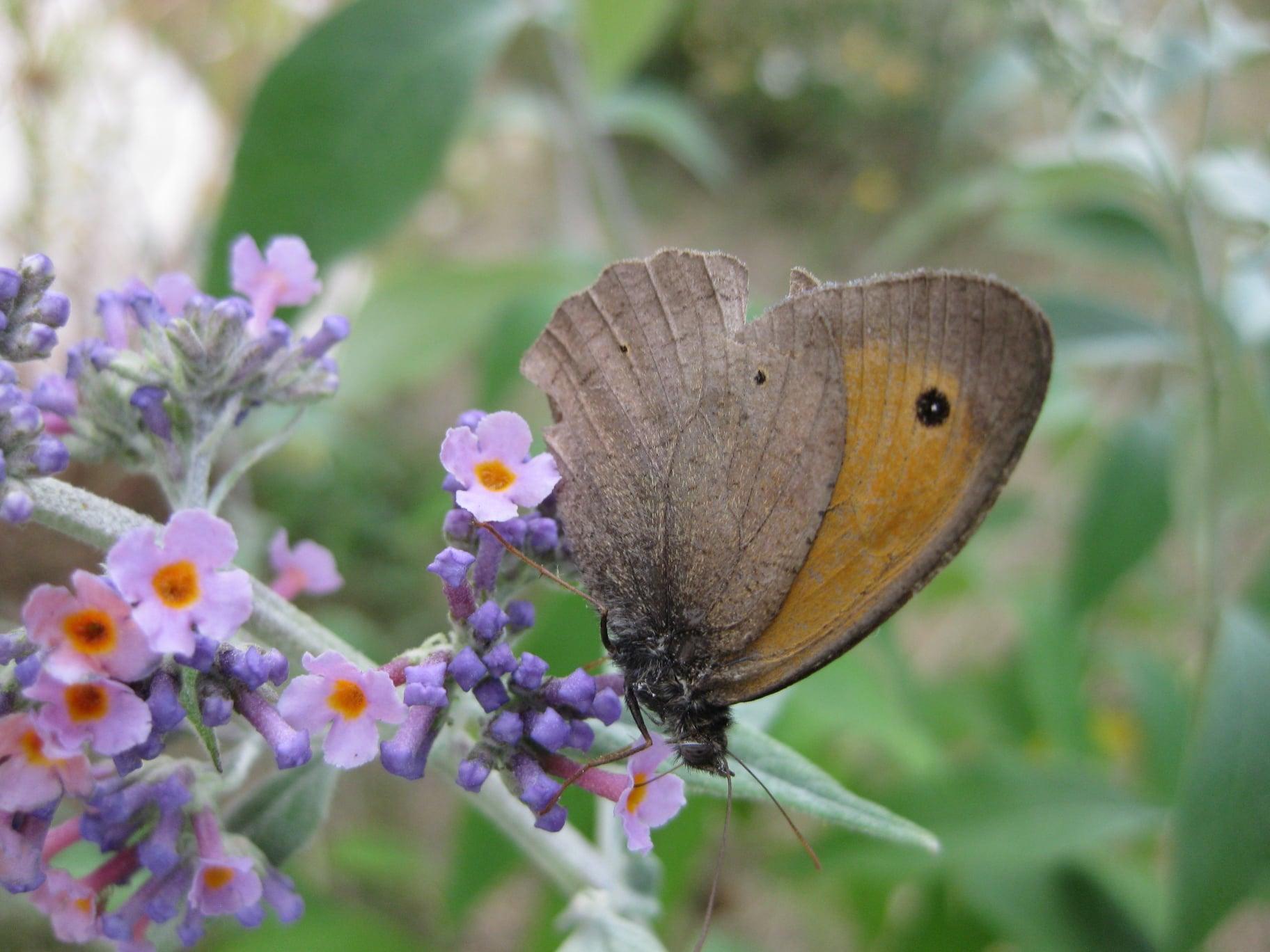 Schmetterling auf einer Blüte (Sommerflieder)