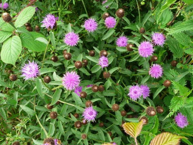Schwarze Flockenblume - Darstellung der Pflanze