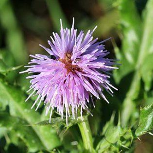 Acker-Kratzdistel Blüte