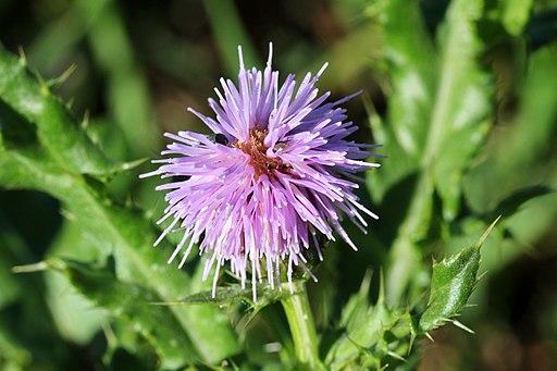 Acker Kratzdistel - Darstellung der Blüte