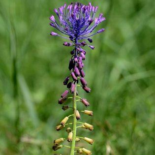 Traubenhyazinthe, Schopf - Blüte
