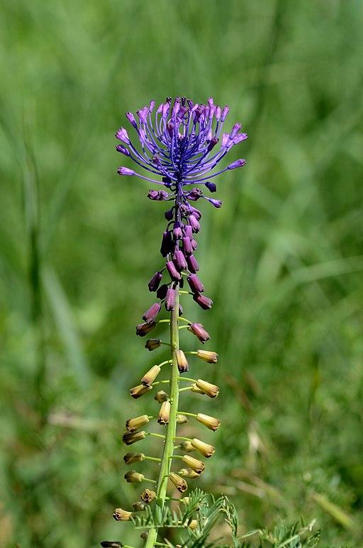 Schopfige Traubenhyazinthe - Darstellung der Blüte