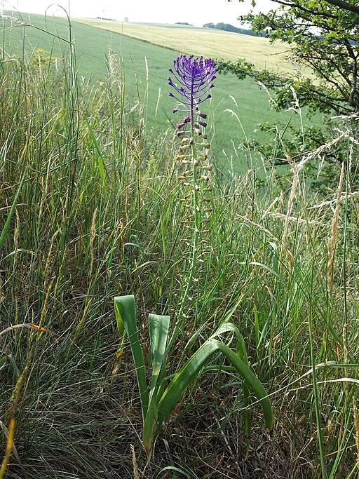 Schopfige Traubenhyazinthe - Darstellung der Pflanze