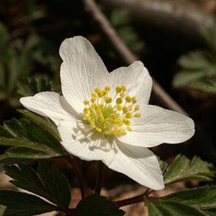 Buschwindröschen - Darstellung der Blüte