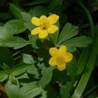 Windröschen, Gelbes - Blüte