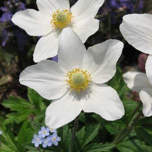 Windröschen, Großes - Blüte