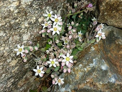 Fetthenne, Buckel - Blüte