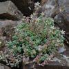 Fetthenne, Buckel - Pflanze