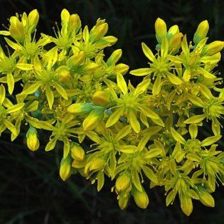 Fetthenne, Felsen - Blüte