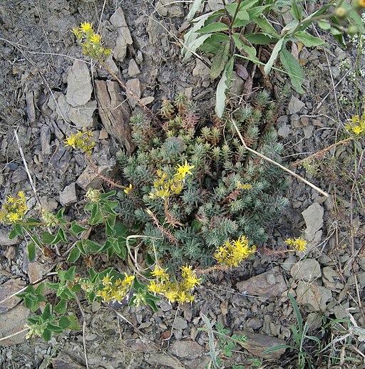 Fetthenne, Felsen - Pflanze