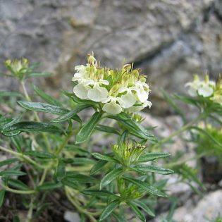 Gamander, Berg - Blüte