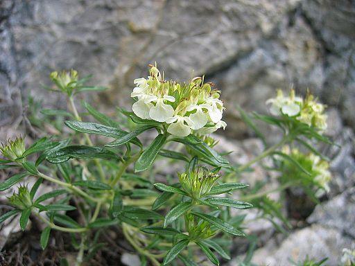 Berg Gamander - Darstellung der Blüte