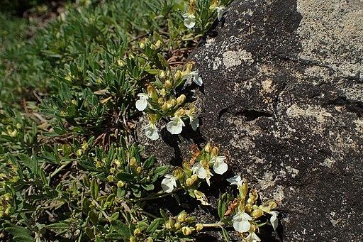 Berg Gamander - Darstellung der Pflanze