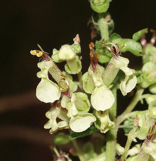 Gamander, Salbei - Blüte