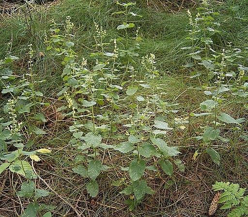 Salbei Gamander - Darstellung der Pflanze