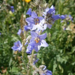 Blaue Himmelsleiter - Blüte