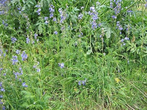 Himmelsleiter, Blaue - Darstellung der Pflanze