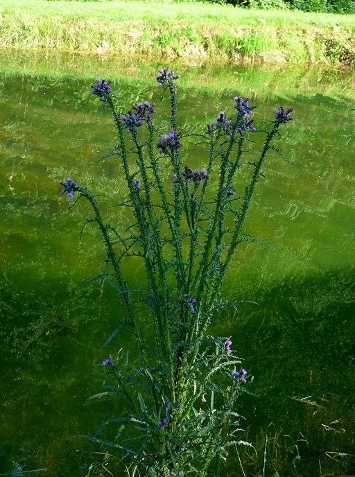 Sumpf Kratzdistel - Darstellung der Pflanze