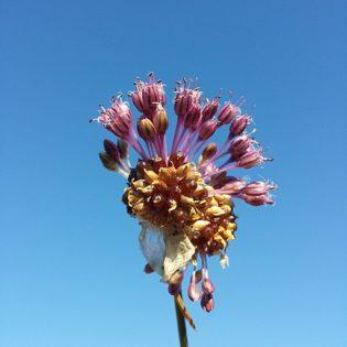 Lauch, Weinberg - Blüte