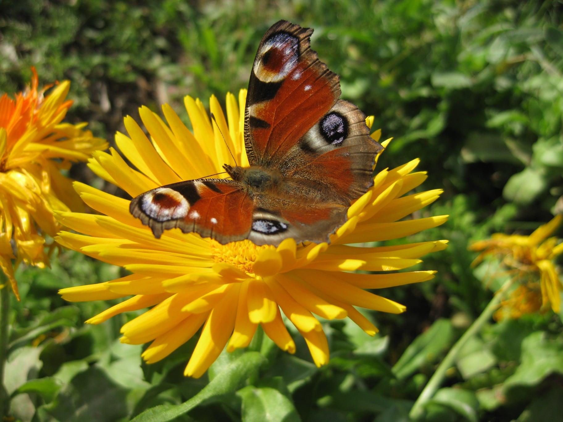 Meerschweinchenwiese - Schmetterling auf Ribgelblume