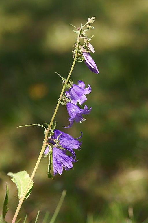 Acker Glockenblume - Darstellung der Blüte