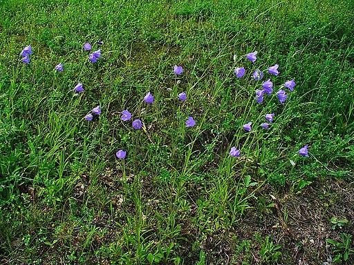 Glockenblume, Pfirsich - Pflanze