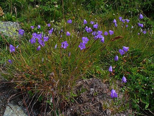 Glockenblume, Scheuchzers - Pflanze