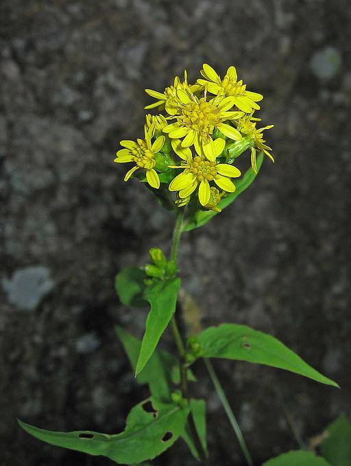 Gewöhnliche Goldrute - Darstellung der Blüte