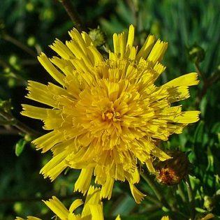 Habichtskraut, Dolden - Blüte