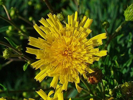 Doldiges Habichtskraut - Darstellung der Blüte