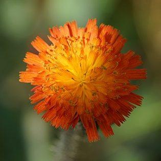 Habichtskraut, Orangerotes - Blüte