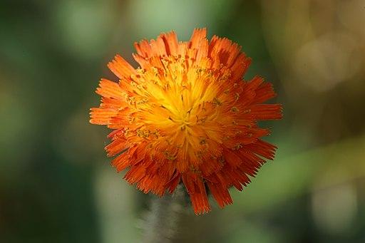 Orangerotes Habichtskraut - Darstellung der Blüte