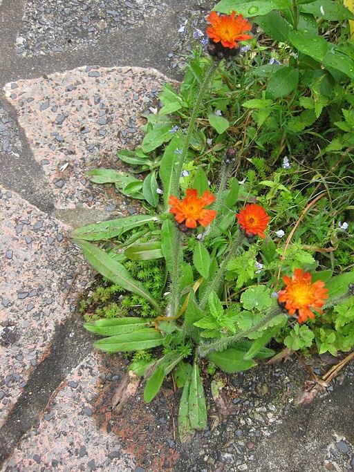 Orangerotes Habichtskraut - Darstellung der Pflanze