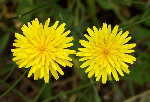 Wald-Habichtskraut - Darstellung der Blüte