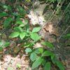 Wald-Habichtskraut - Darstellung der Pflanze