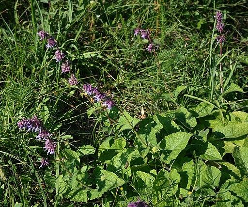 Quirlblütiger Salbei - Darstellung der Pflanze