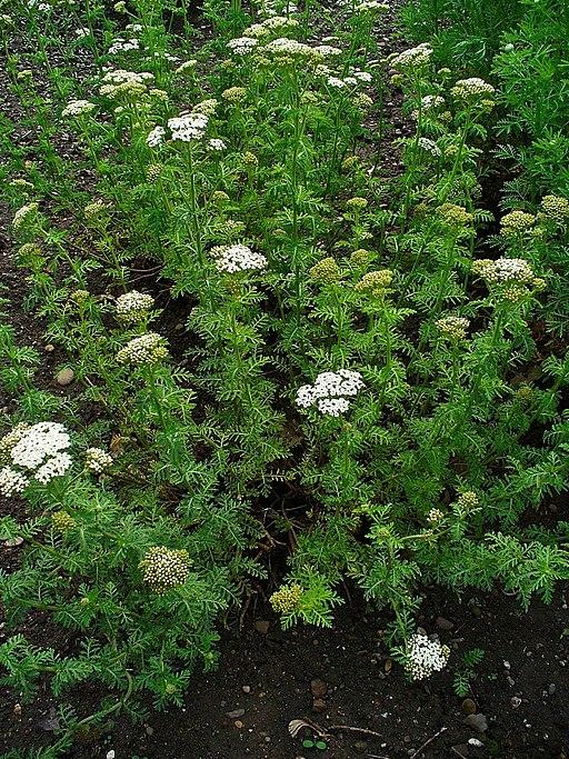 Schafgarbe, Edle - Pflanze