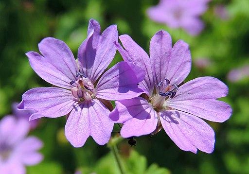 Storchschnabel, Pyrenäen - Blüte