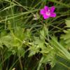 Storchschnabel, Sumpf - Pflanze