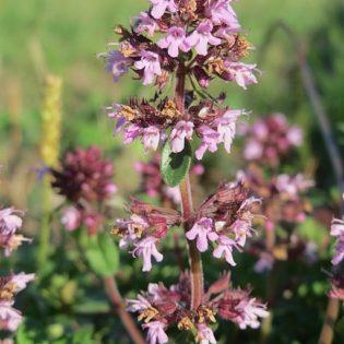 Thymian, Breitblättriger - Blüte