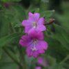Weidenröschen, Zottiges - Blüte