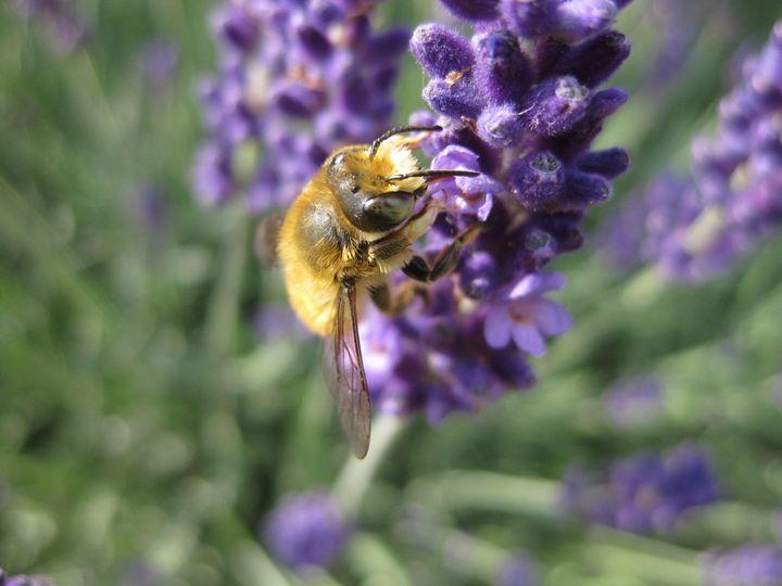 Spritzschutzstreifen - Honigbiene auf Echtem Lavendel