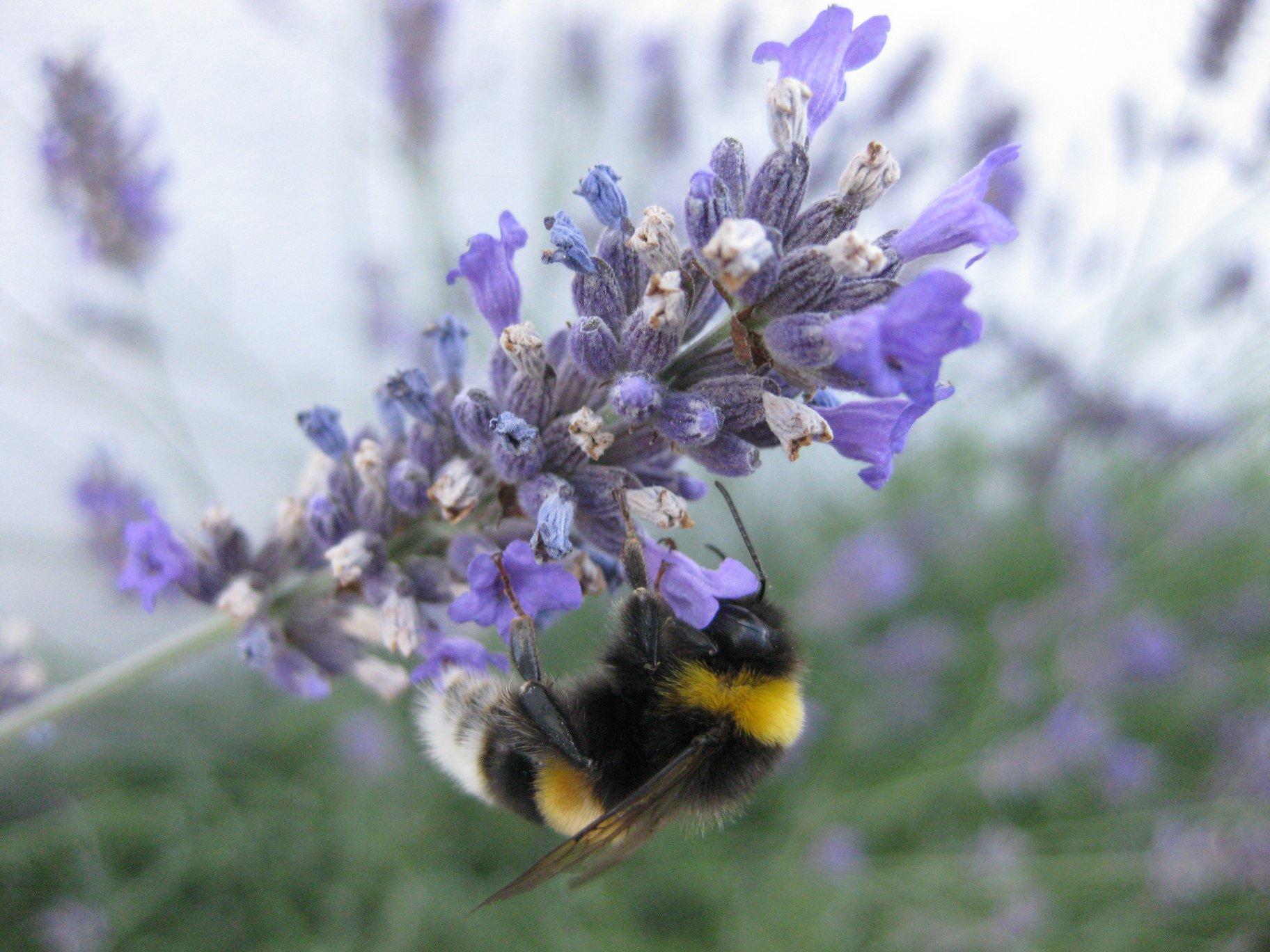 Spritzschutzstreifen - Garten-Hummel auf Echtem Lavendel