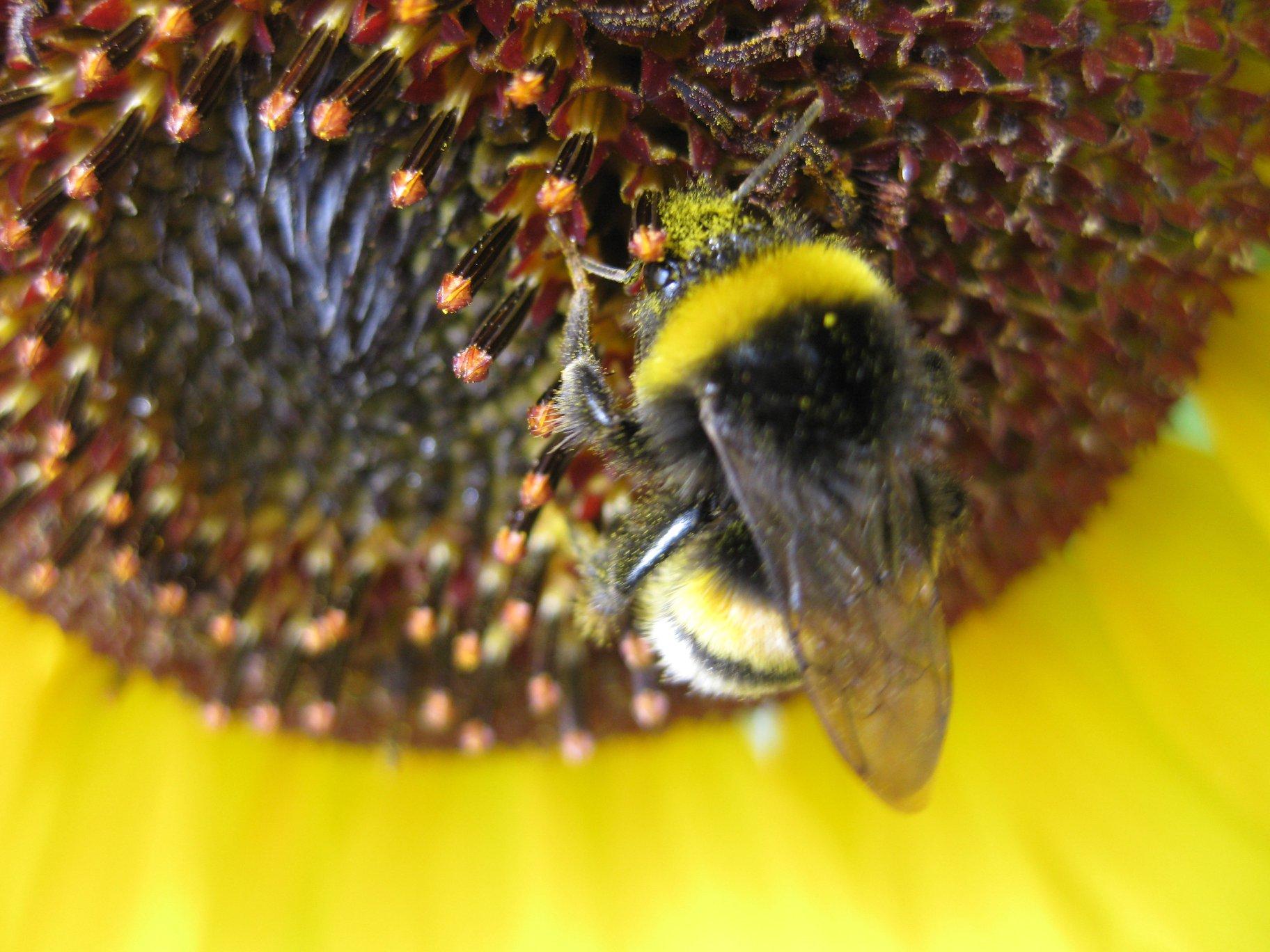 Spritzschutzstreifen - Garten-Hummel auf Sonnenblume