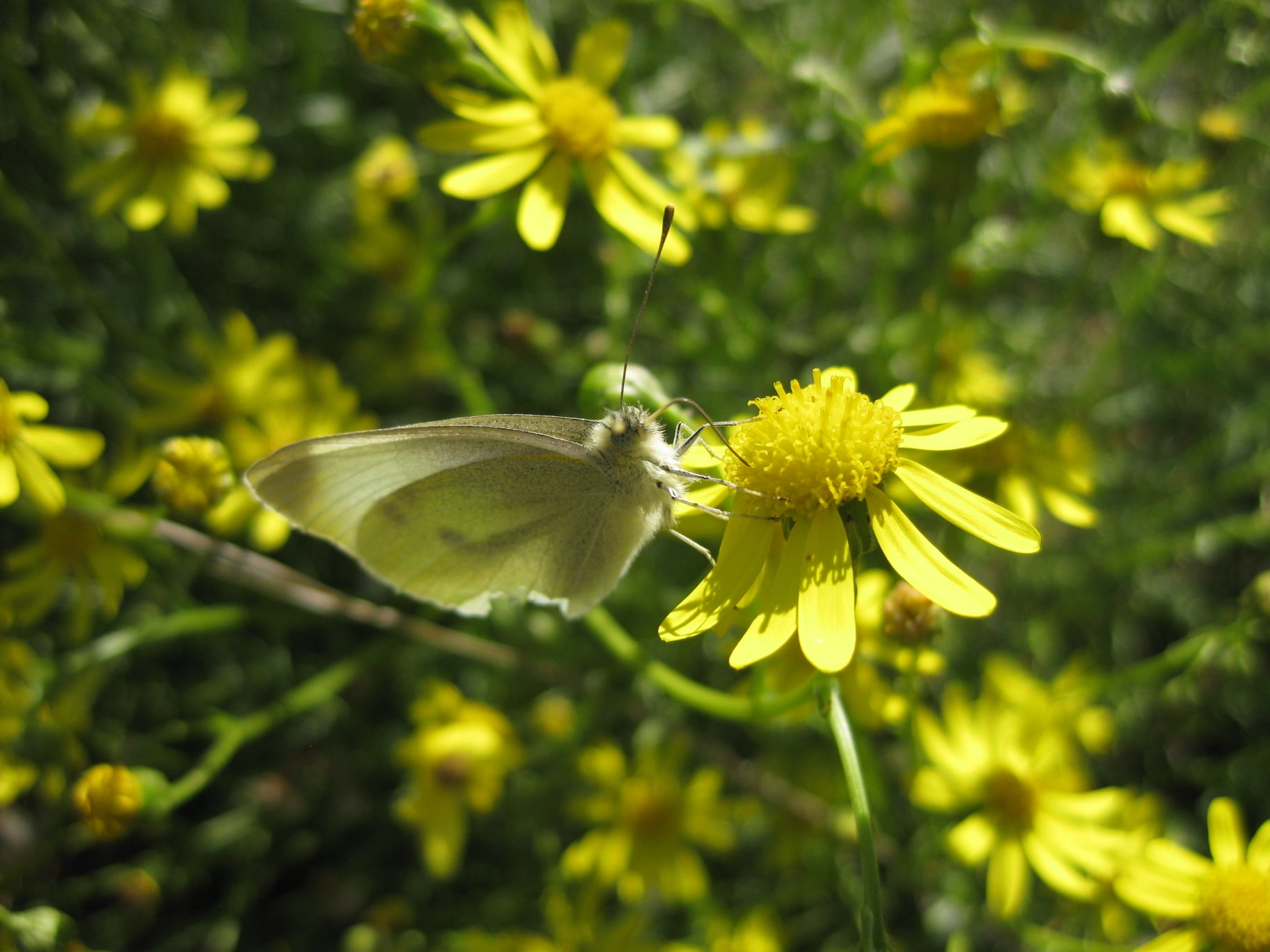 Ruderalpflanzen - Greiskraut Blüte