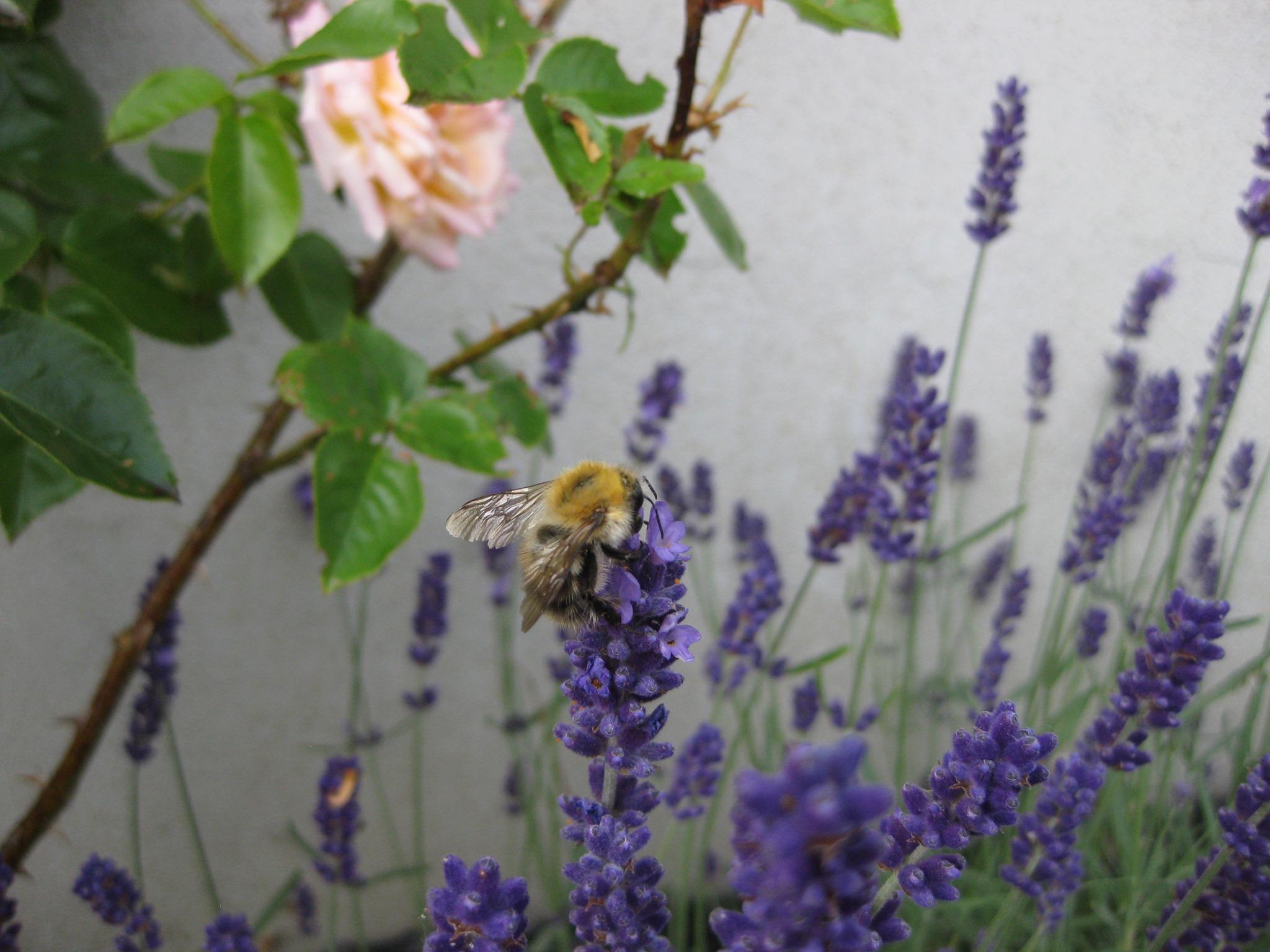 Spritzschutzstreifen - Acker-Hummel auf Echtem Lavendel
