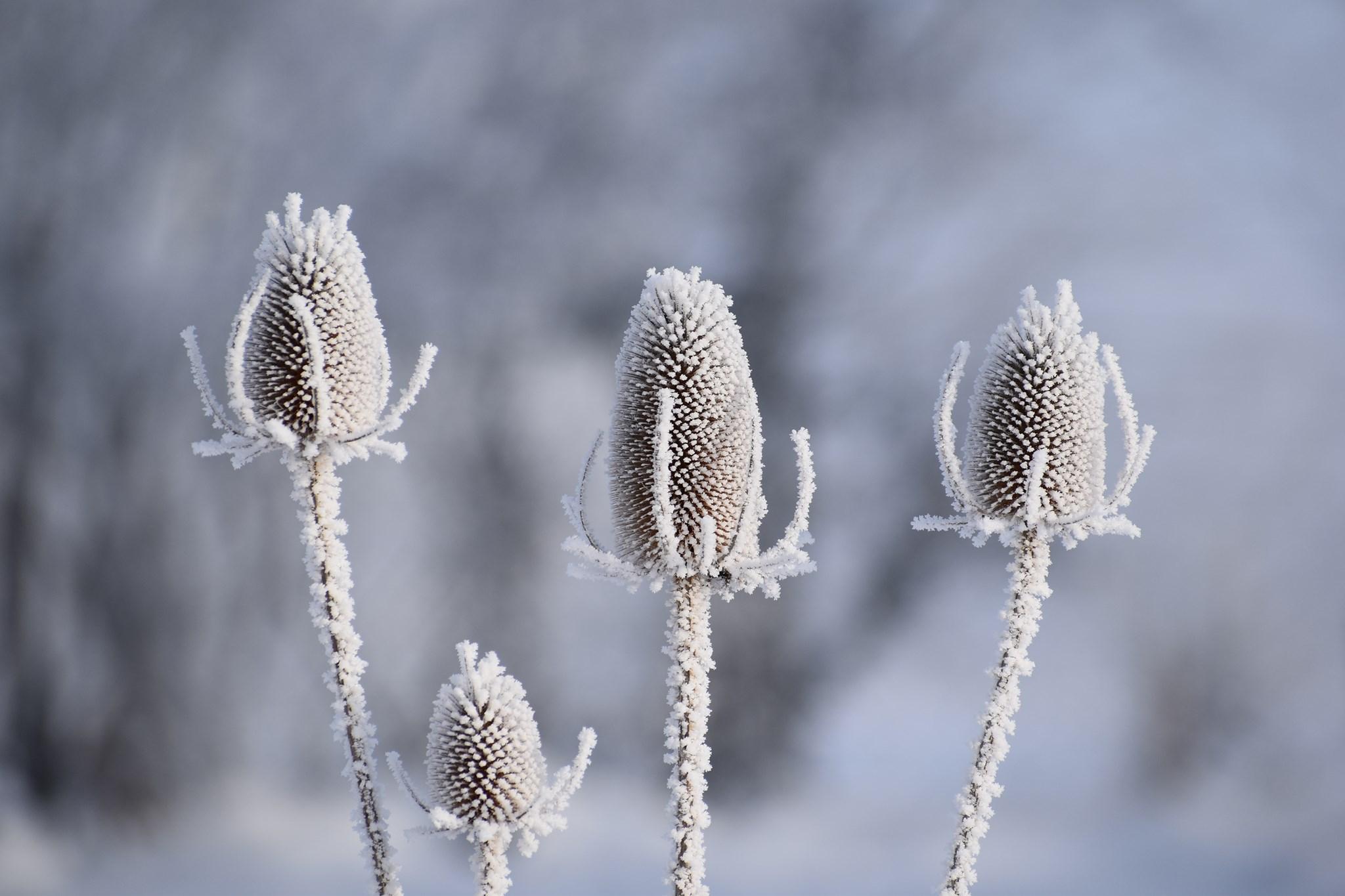 Winter is coming - Wilde Karde mit Frost