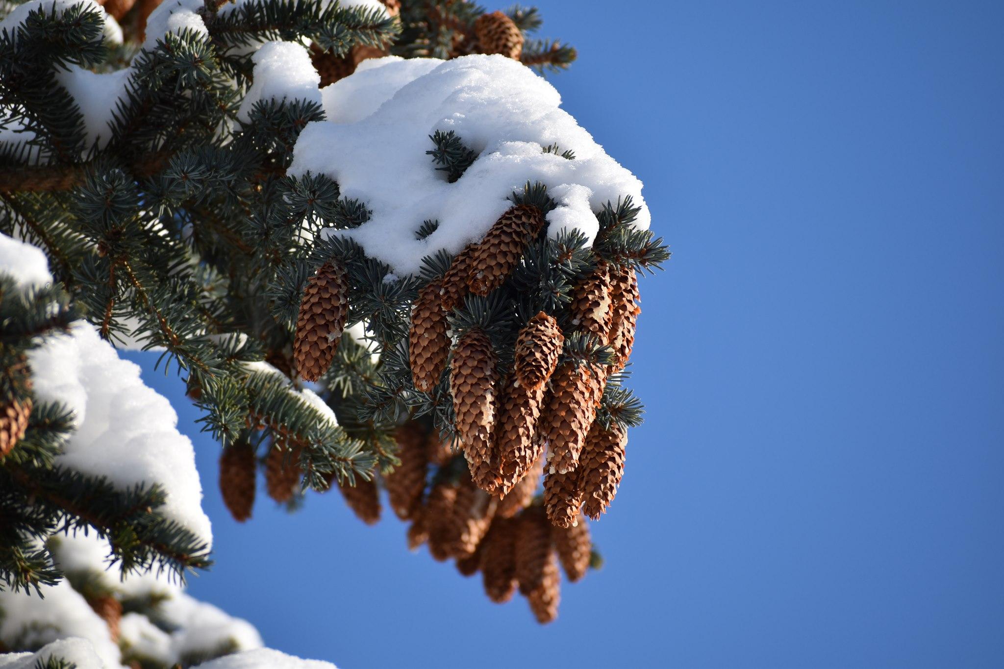 Winter is coming - Zapfen mit Schnee