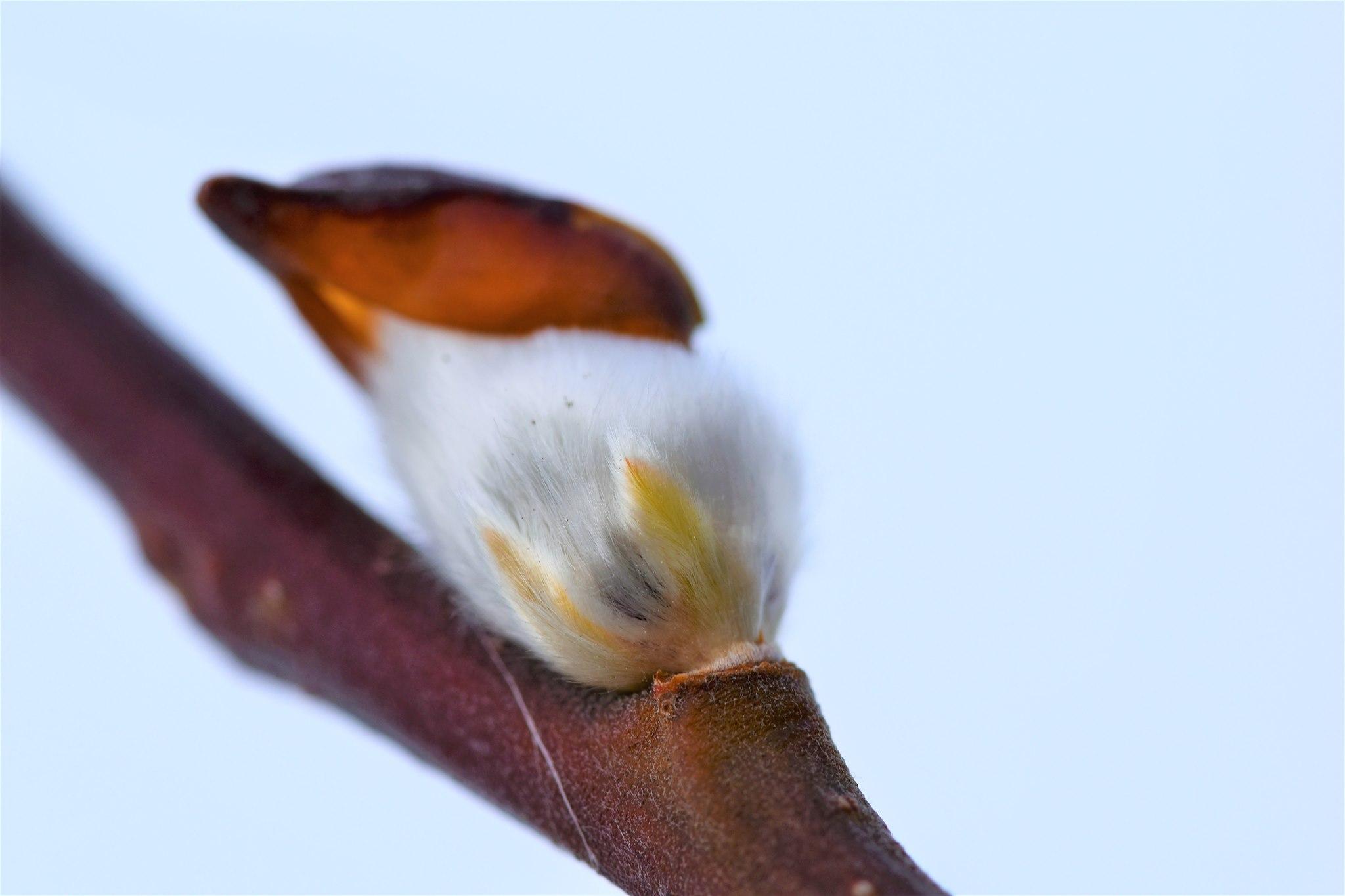 Weidenknospe im Winter